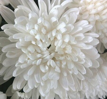 white: White Chrysanthemum Stock Photo