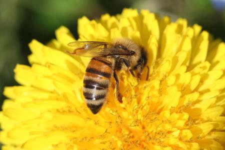 nectar: bee sucking nectar on Dandelion flower