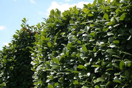 hedge: hedge Lauro with blue sky