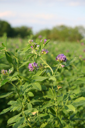 monoculture: alfalfa in bloom