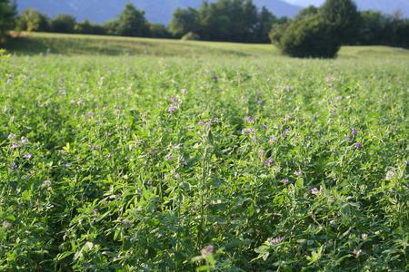 alfalfa field at sunset