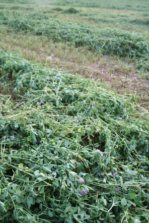 monoculture: alfalfa field mowed Stock Photo