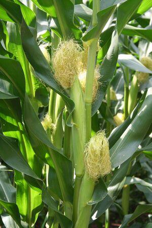 planta de maiz: mazorcas de ma�z verde en primavera
