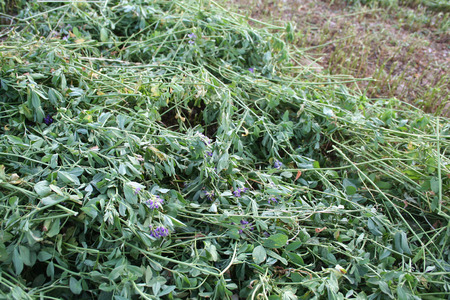 monoculture: alfalfa mowed on field Stock Photo