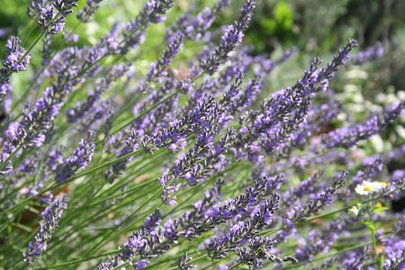 seson: Violet Lavender flowers in the garden