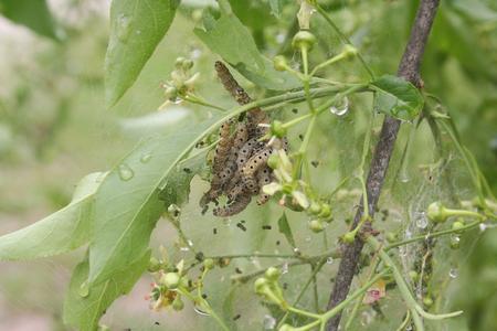 padding: Caterpillars of fruit ermine moth on a plum. Yponome padding