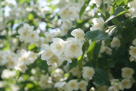 Philadelphus or mock orange white flowers with green leaves