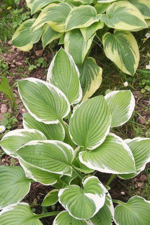 Variegated Hostas plant in the garden Stock Photo