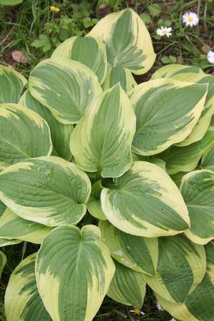Variegated Hosta plant in the garden Stock Photo