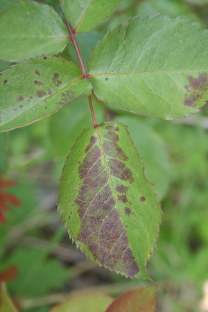 Black spot on rose leaves. Diplocarpon rosae Stock Photo