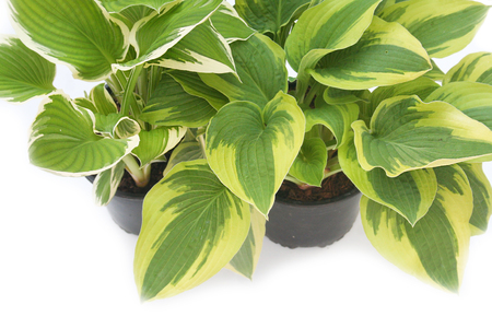 Hosta plants in a plastic pot isolated on white background