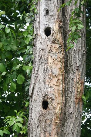 Woodpecker holes in tree Stock Photo