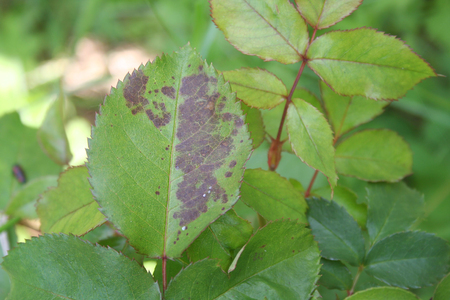 fungal disease: Black spot on rose leaves. Diplocarpon rosae Stock Photo