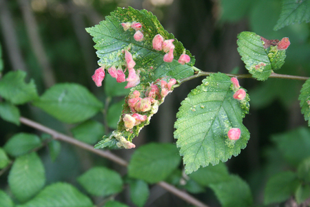 Gall caused by the Eriosoma lanuginosum on an elm leaf