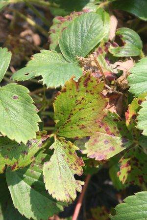 fungal disease: Strawberry leaf with the fungal disease. Diplocarpon earlianum on plant Stock Photo