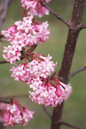 Dawn Viburnum: V. bodnantense Dawn. Pink flower in winter