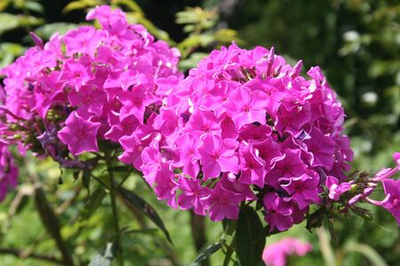 Pink Phlox flowers in the garden Stock Photo