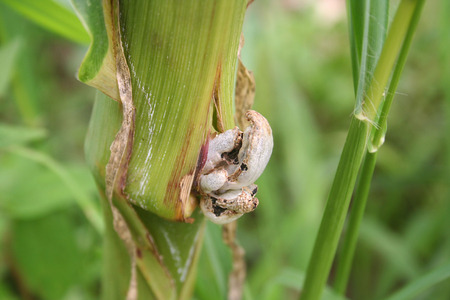 Corn smut. Ustilago maydis disease on the corn plant in the field Stock fotó