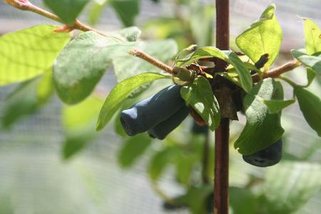 Blue blueberry on plant. Lonicera Caerulea Kamtschatica fruits