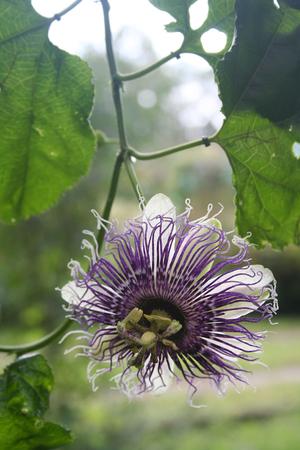 Passiflora flower in the garden