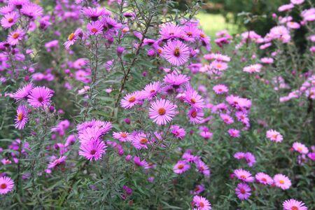 Purple Aster Frikarti flowers in the garden Stock Photo