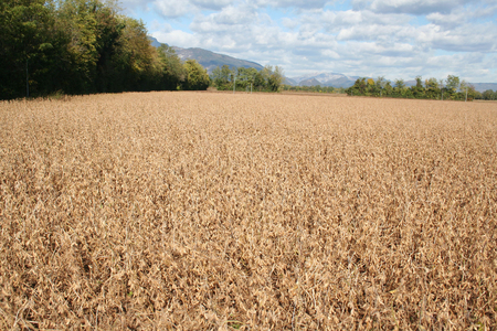 Dry Soybean field with blue sky ready to harvest in autumn Stock fotó