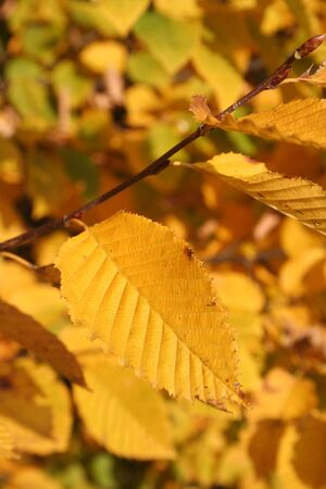Yellow autumnal leaves of the hornbeam in sunlight