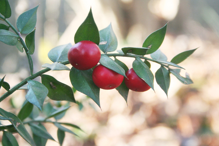 Butcher's broom red berries and green leaves. Ruscus aculeatus. Selective focus.