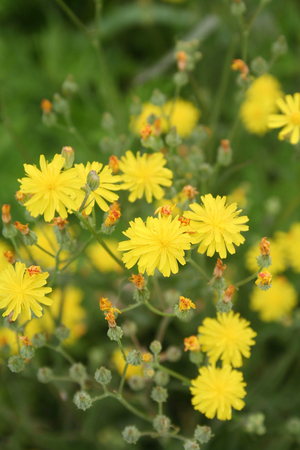 wild yellow flowers, Spring background with selective focus Imagens
