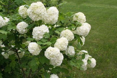 Viburnum opulus with white flowers in spring. Snowball bush in the garden Stock Photo