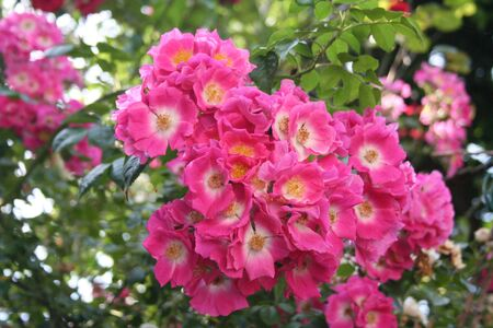Pink climbing roses in bloom Stock Photo