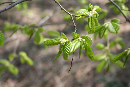 European or common hornbeam with young fresh green leaves. Carpinus betulus. Stock Photo