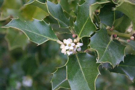 Ilex aquifolium holly tree with small white flowers in springtime ilex aquifolium holly tree with small white flowers in springtime stock photo 101557947 mightylinksfo