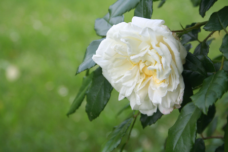 Beautiful white roses in bloom in the garden. Selective focus. Stock Photo