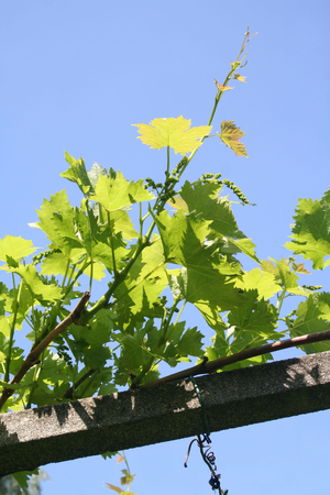 Branch of vine with vineyard in spring Imagens