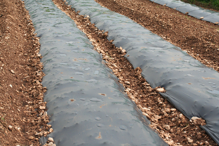 Agriculture Mulching Sheets. Plastic mulch in the field Stock Photo