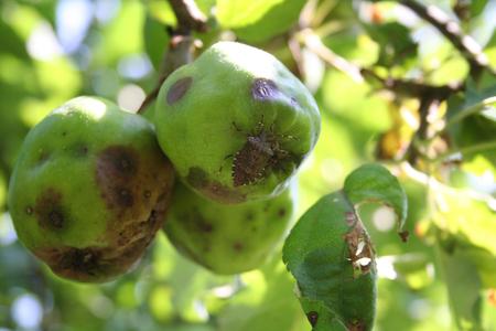 Bouclier marbré brun sur pomme fruit sur arbre dans le verger. Insecte Halyomorpha halys sur une culture endommagée