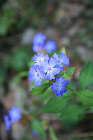 Close-up of Ceratostigma wilmottianum blue flowers in the garden