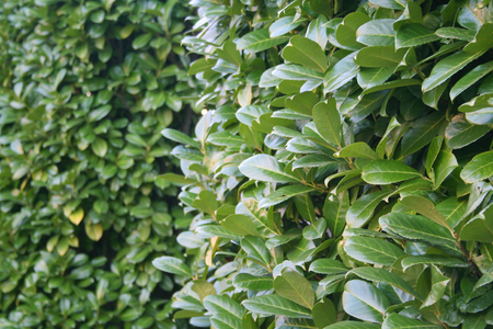 Green Laurel bush hedge in the garden. Prunus laurocerasus Stock Photo - 108991335