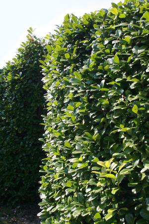 Green Laurel bush hedge in the garden. Prunus laurocerasus Stock Photo