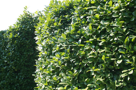 Green Laurel bush hedge in the garden. Prunus laurocerasus