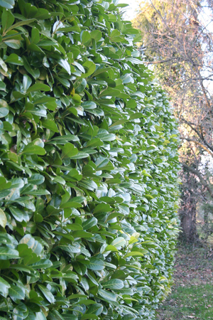 Green Laurel bush hedge in the garden. Prunus laurocerasus Stock Photo - 108991433