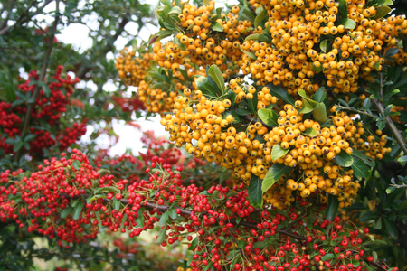 Beautiful yellow and red berries on Pyracantha bush. Firethorn in autumn in the garden