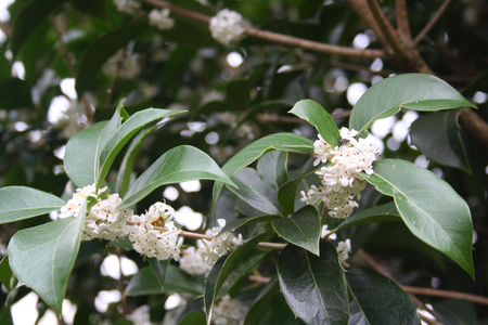 White flowers of Osmanthus fragrans on branch. Sweet Olive in bloom in the garden Stock Photo