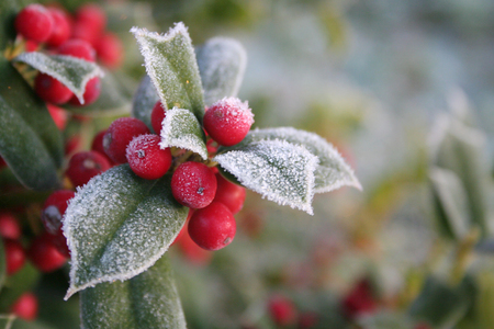 Frost on Holly branch with ripe red berries. Ilex cornuta bush in winter. Christmas or winter background with selective focus Stock Photo
