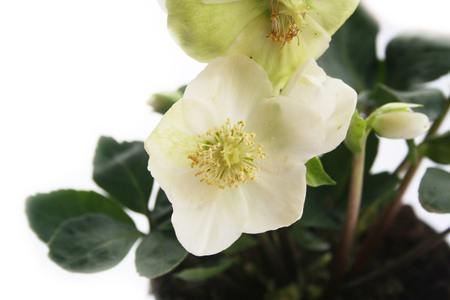 Hellebore or Christmas rose isolated on white background. Hellebore plant in bloom with white flowers and blossom Stock Photo