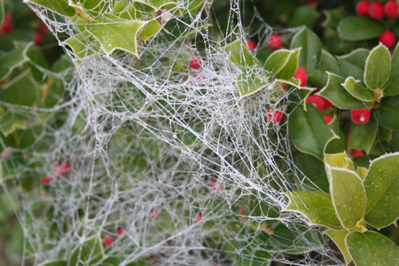 Frost on a cobweb on a Holly bush with red berries in winter