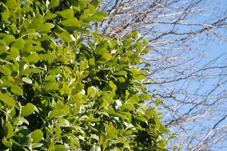 Laurel bush against blue sky in the garden in winter season. Laurus nobilis