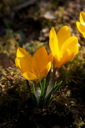 Yellow crocuses flower blooming in the garden in springtime Imagens