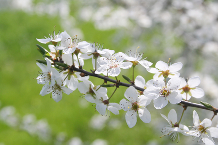 Common Hawthorn in bloom in springtime. White flowers on branch on green background. Easter or Springtime background